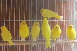 5 Cara Membedakan Burung Kenari Jantan dan Betina Secara Tepat dan Akurat