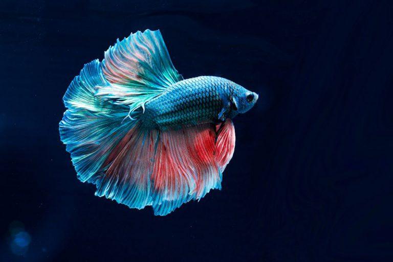 6 Cara Membedakan Ikan Cupang Jantan dan Betina dengan Mudah
