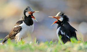7 Cara Membedakan Burung Jalak Suren Jantan dan Betina Secara Akurat