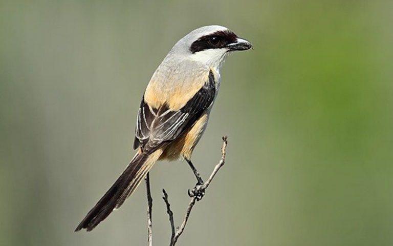 Cara Membedakan Burung Cendet Jantan dan Betina Dengan Mudah dan Akurat