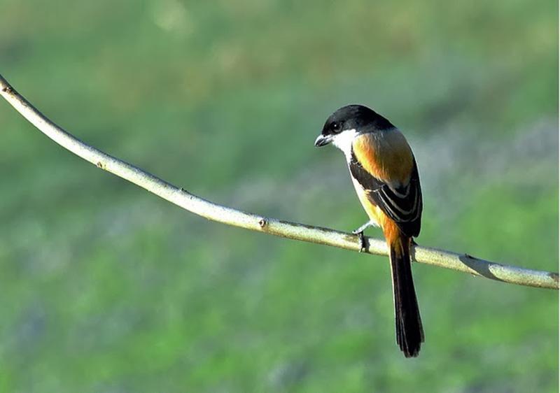 Cara Membedakan Burung Pentet Jantan Dan Betina Paling Akurat
