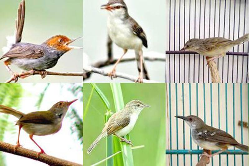 Cara Membedakan Burung Prenjak Jantan Dan Betina dengan Mudah dan Akurat