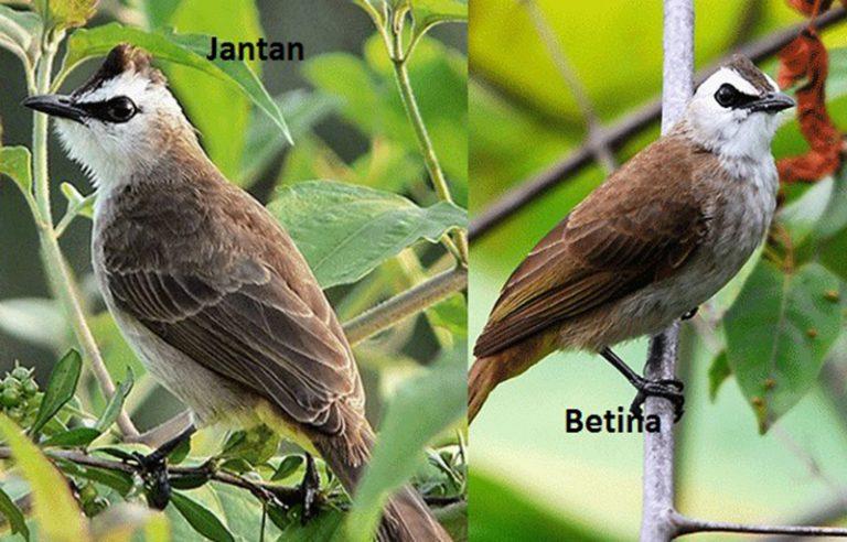 Cara Membedakan Burung Trucukan Jantan Dan Betina dengan Mudah